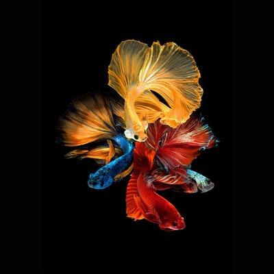 Glastavla Fishes nr 2 - 80x80 cm