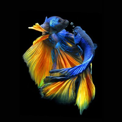 Glastavla Fishes nr 1 - 80x80 cm