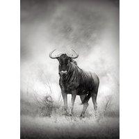 Poster Buffel